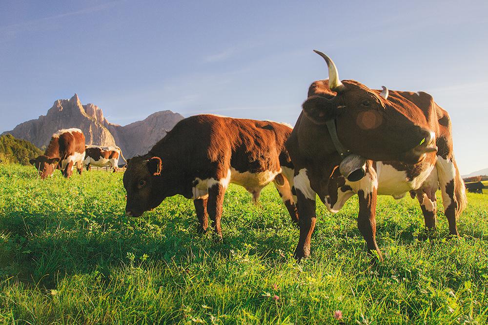 Cows_Siusi